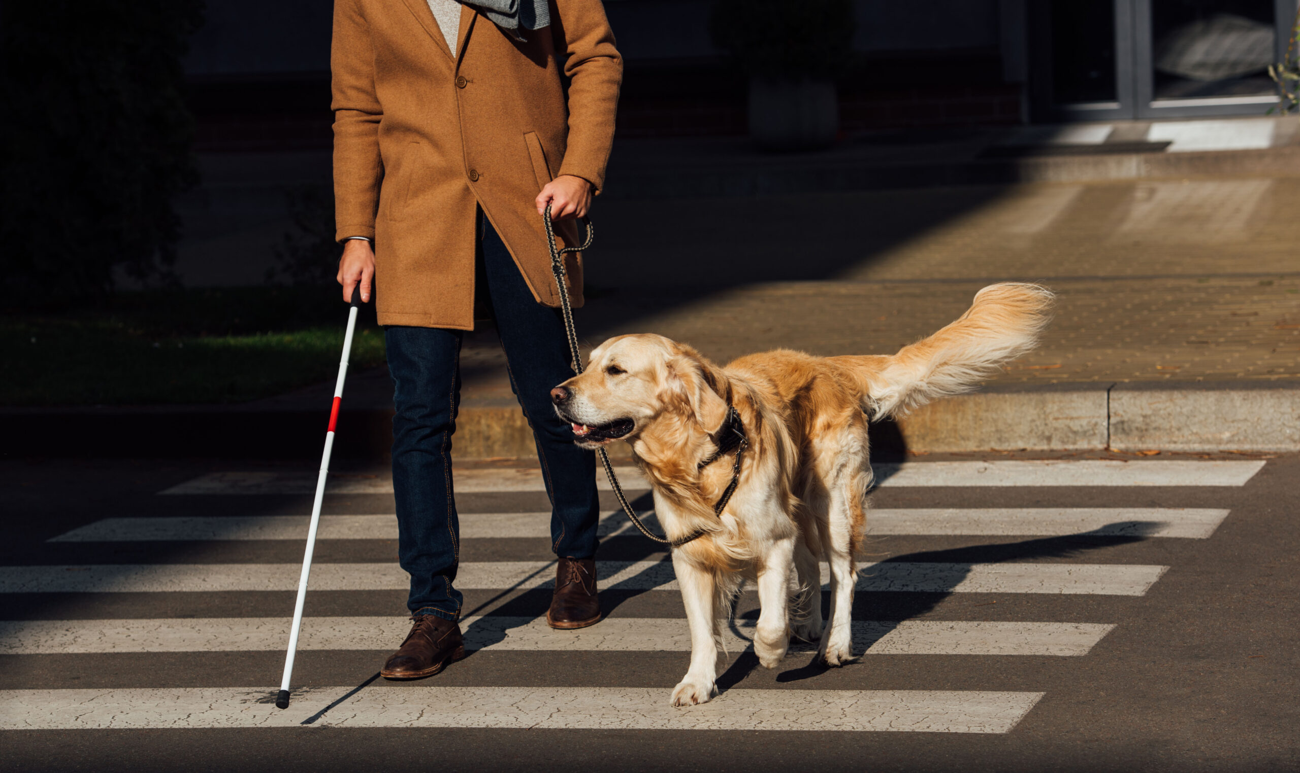 CNIB sees 300% spike in guide dog interest